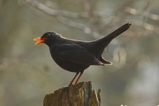 Vögel Vogelfotos Amsel