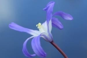 Blumen Blüten Blau Sternhyazinthe